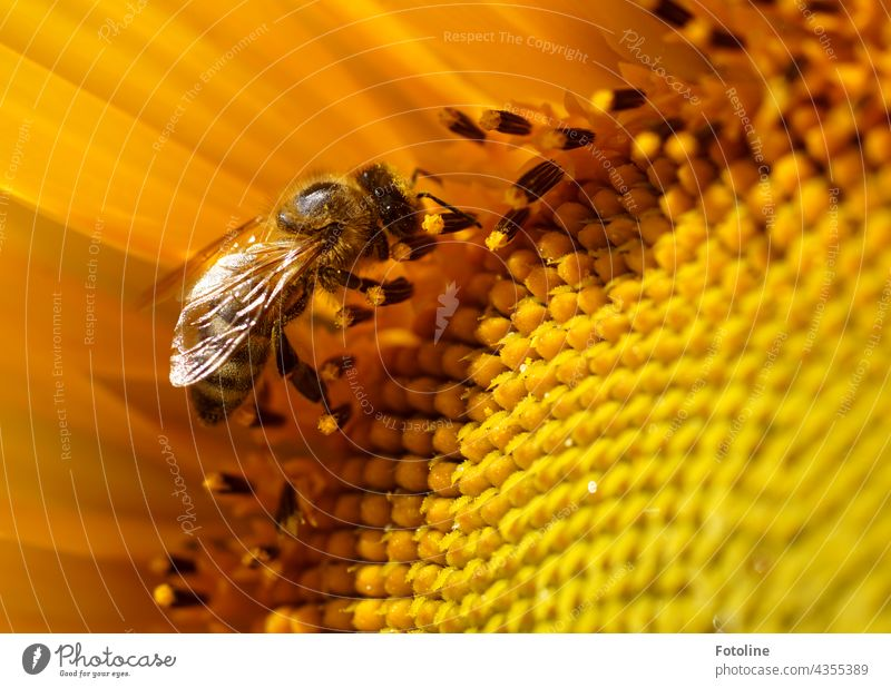 Gardening for Beginners VIIII - One of 160 planted sunflowers in Fotoline's front yard has a visit from a busy honeybee. Flower Rock garden Plant Nature