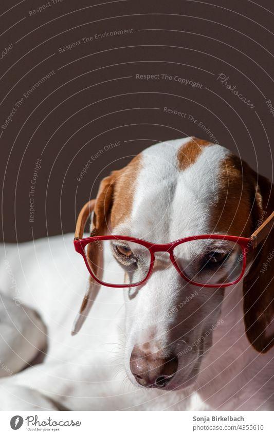 Homeoffice Istrian short haired bravotube wears reading glasses istrian shorthaired brunette Dog Watchdog Hound hound bloodhound pack dog Eyeglasses