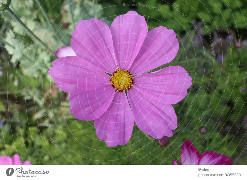 Purple cosmos flower on a green background autumn beautiful beauty bloom blooming blossom blue botany bright celebration closeup color colorful compositae