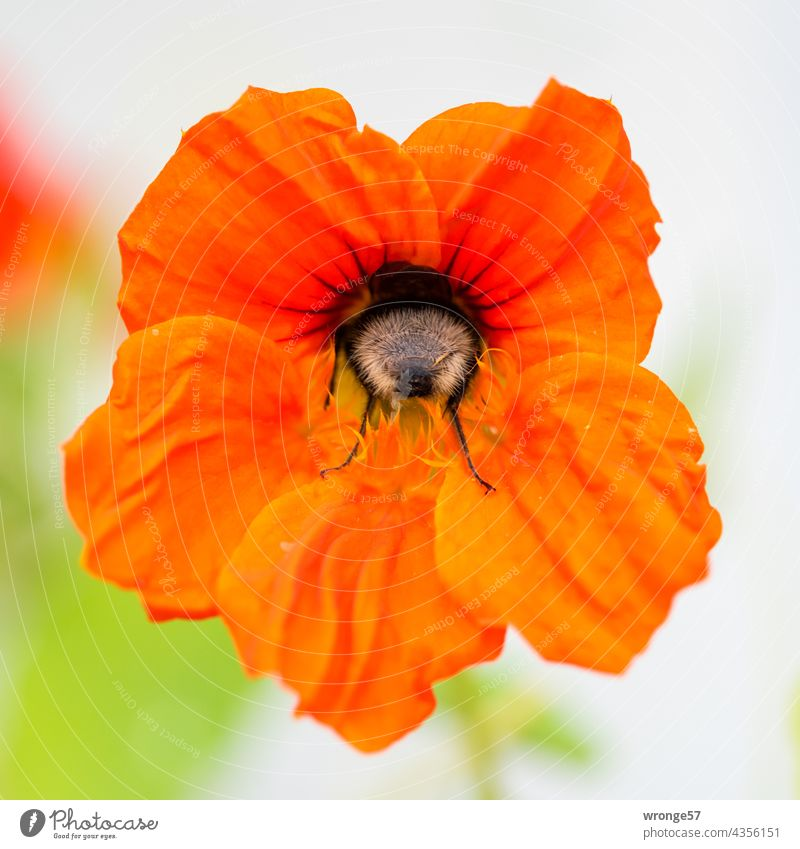 Close-up of a bumblebee searching for pollen in a flower of nasturtium Bumble bee Pollen Pollen Search Foraging Blossom Flower Plant Nasturtium capuchin flower