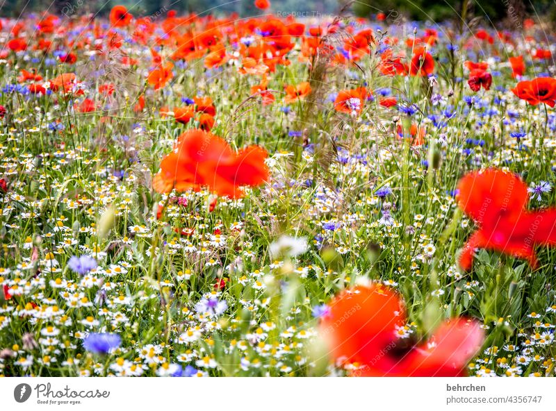 a little mo(h)nday warmth Chamomile Beautiful weather Deserted Blossoming Splendid Poppy Poppy blossom poppy flower Warmth Blossom leave Spring Meadow Leaf