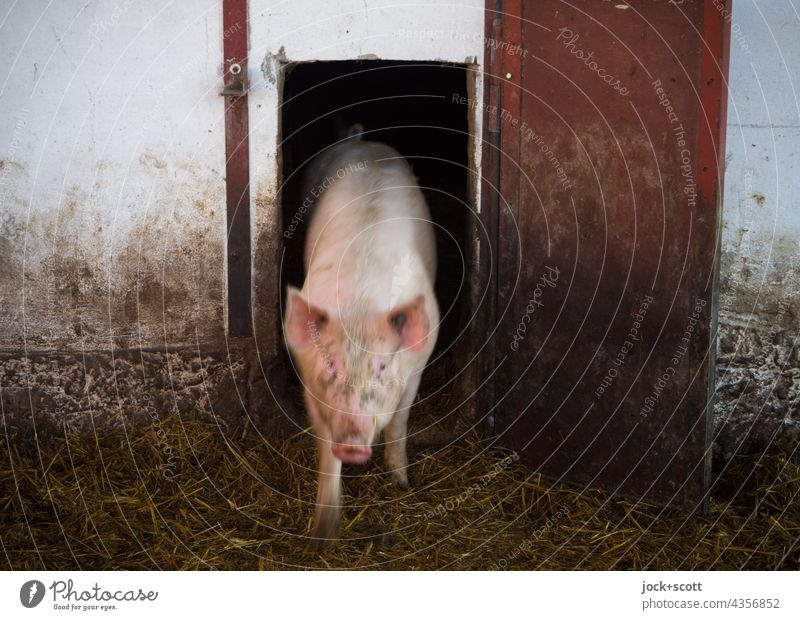 let it all hang out Swine Barn Farm animal Animal portrait Sow Front view Swinishness Pigsty Cattle breeding pigsty Agriculture Dirty door bedding