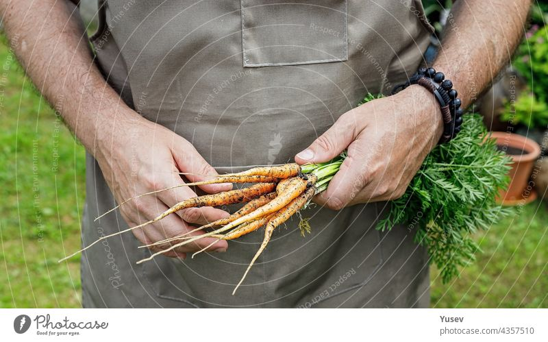 Human hands holding a carrot with leaves. Autumn harvest concept. Farmer organic products. Healthy food agriculture. Male hands holding a fresh vegetables human