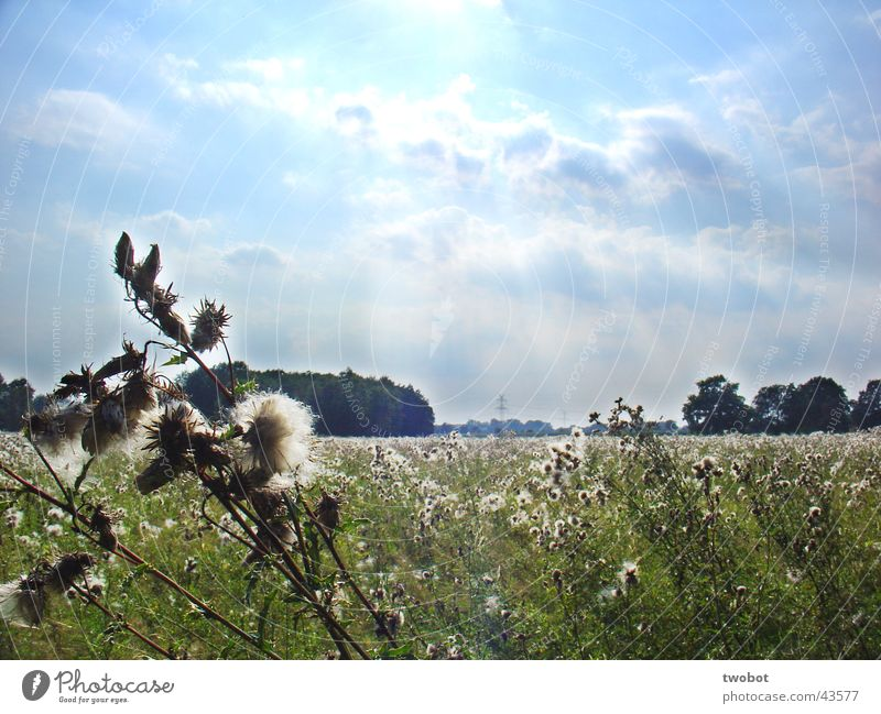 summer sunny meadow Summer Summer's day Sun Lighting Physics Clouds Cyan Meadow Grass Dandelion Thistle Green Wool White Soft Thorny Spring Rural Calm