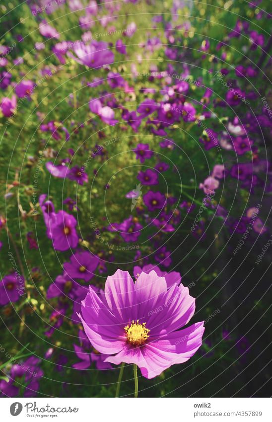 Permanent Cosmea Cosmos Bright Colours Close-up Ease purple Fresh Violet Green Magenta Enthusiasm fragrant Muddled Mysterious blossoms Growth Environment Life