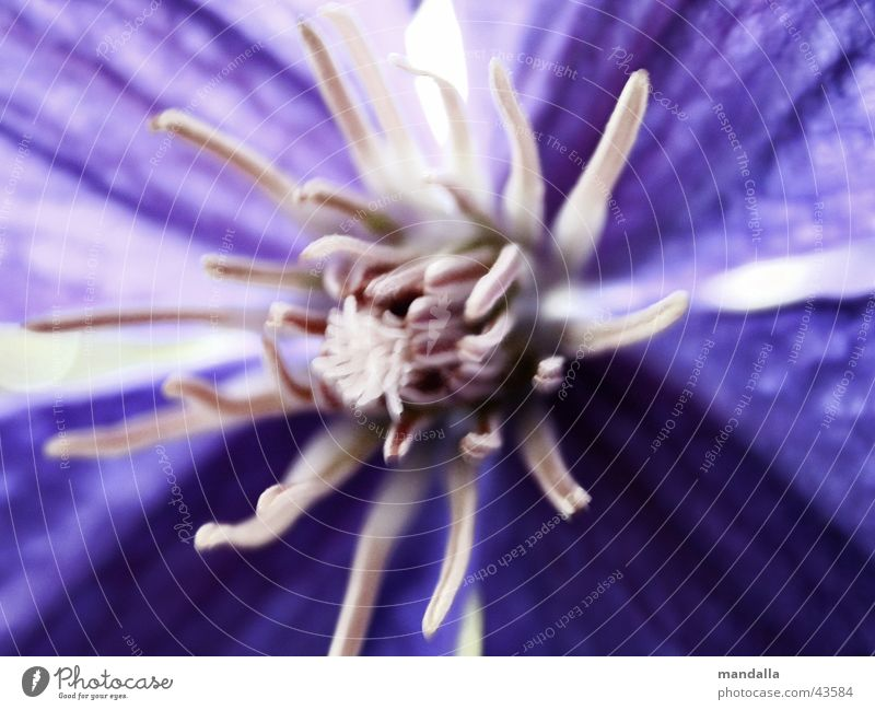 White Blue Blossom Violet Clematis