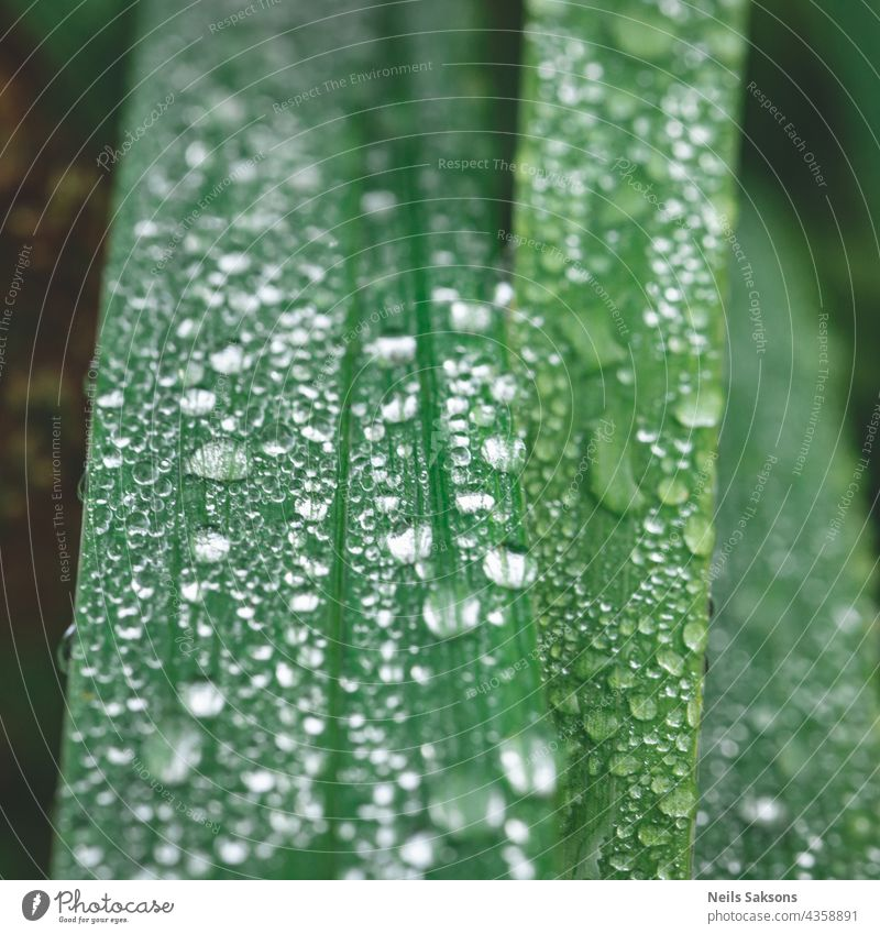 Fresh green grass with drops of water, After the rain. Beautiful rain drops on the green leaves, Raindrops covered the stems of green grass close-up. Abstract background.