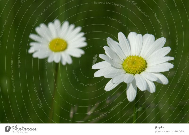 Leucanthemum Summer Garden Nature Plant Spring Beautiful weather Flower Grass Blossom Meadow Fresh Yellow Green White Lawn Colour photo Multicoloured