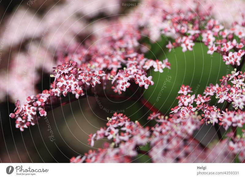Interspaces | between the flowers of the black elder (Sambucus nigra) black elderberry shrub black lilac holler lenient remedies elderberry blossoms