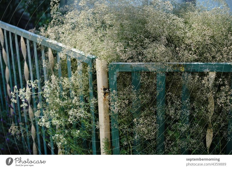 old metal garden fence painted in green and white. Behind it white flowering shrub. Garden fence Metal Subdued colour out Deserted white delicate flowers