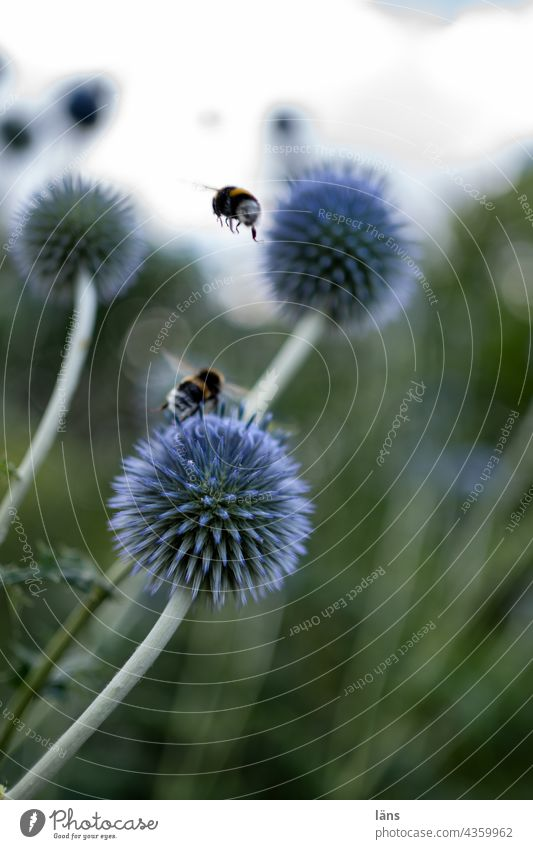 Ball thistle with bumblebees globe thistle Bumble bee Honey flora Foraging Blossom Insect Summer Deserted Flower Plant Colour photo Exterior shot Nectar Pollen