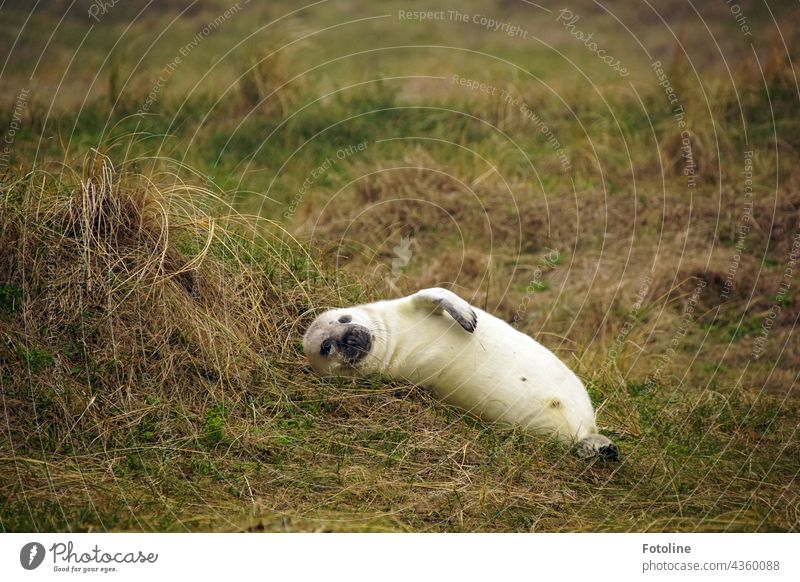 A grey seal pup lies relaxed in the shelter of the dune on Helgoland. Gray seal Animal Colour photo Exterior shot Nature Wild animal Day Seals naturally Mammal