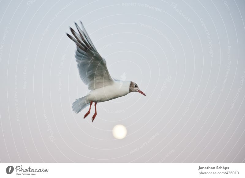 Flight over the moon I Animal Bird 1 Exceptional Moon Evening Moonlight Moonrise Seagull Gull birds Flying Floating Freedom Wing Hover Sublime Height Overflight