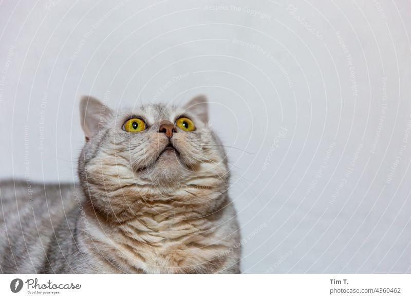 a cat looks up Cat Pelt Pet mackerelled Looking Animal portrait Animal face Whisker Observe Cute Cat's head Domestic cat Watchfulness Snout Colour photo