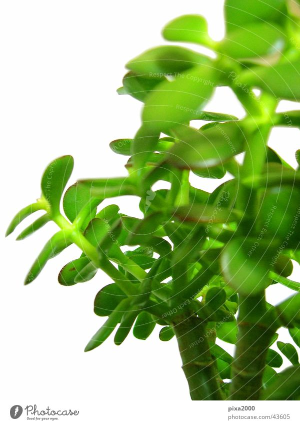 penny tree Plant Isolated Image Background picture Back-light Style Photographic technology