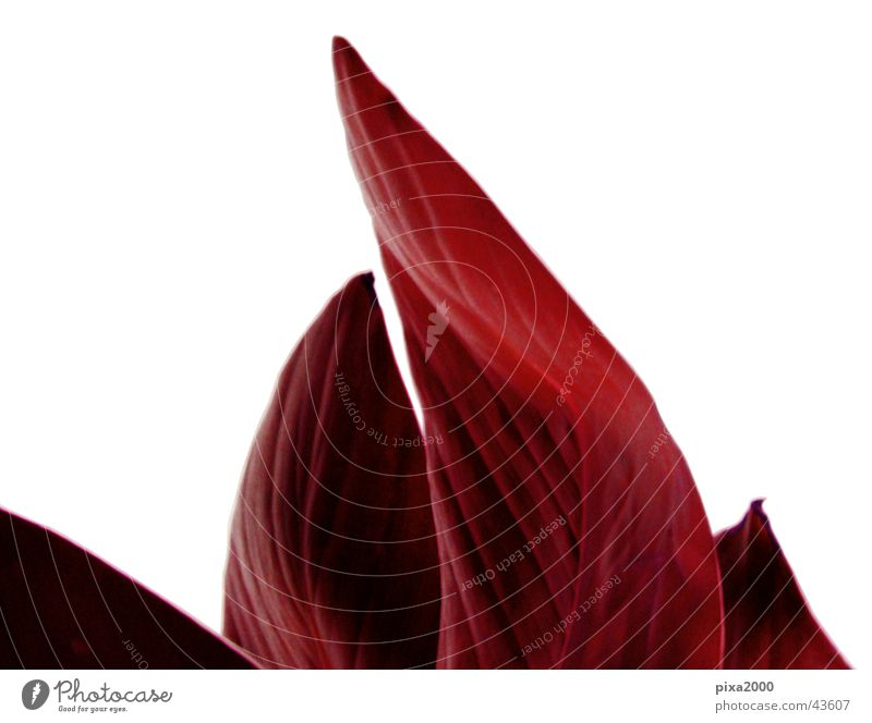 red flame Plant Isolated Image Background picture Back-light Style Photographic technology