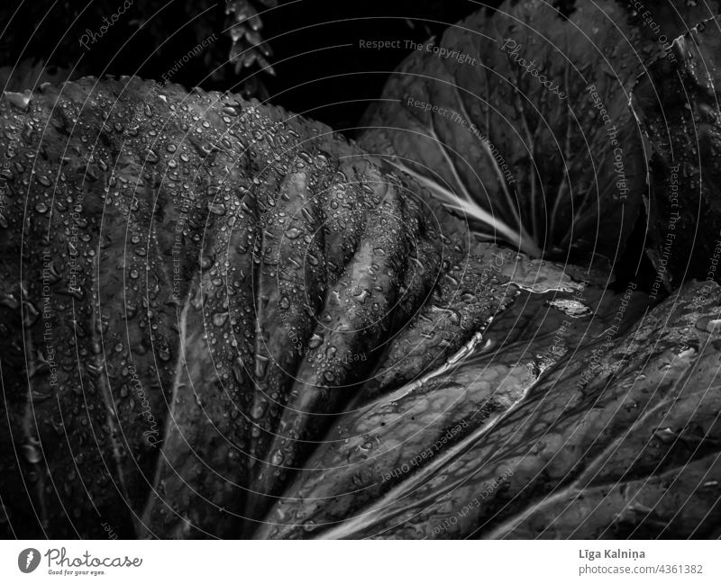 Leaves with water drops in black and white Leaf Nature Black & white photo Water Rain Drops of water Plant Wet Damp Close-up Macro (Extreme close-up) Detail Dew