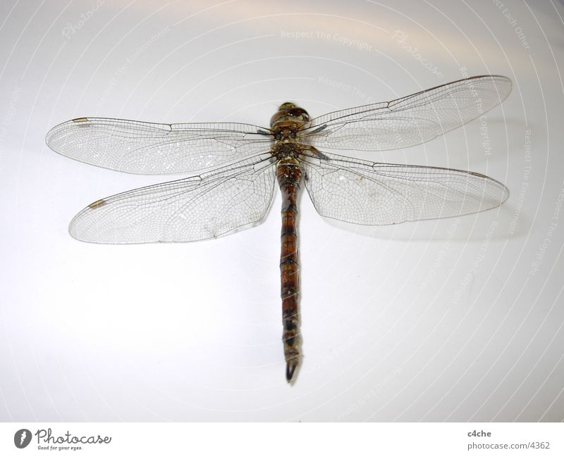 Nature Animal Insect Dragonfly