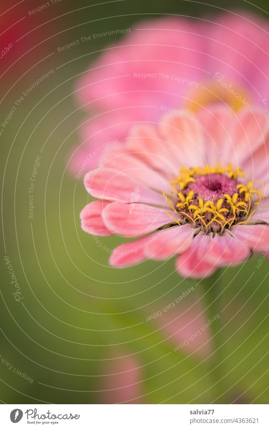 Zinnia flowers in pink petals Flower Blossom zinnia Garden Plant Summer Pink Green Macro (Extreme close-up) Colour photo pretty Blossoming Esthetic Nature