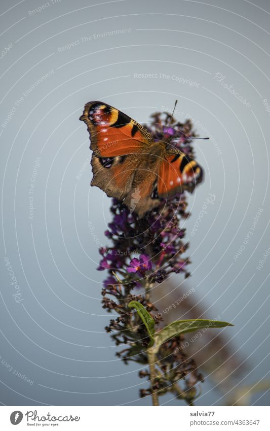 Peacock butterfly nibbles on the summer lilac Butterfly peacock butterfly Buddleja Blossom Fragrance Nectar Summer Flower Animal portrait Blossoming Close-up