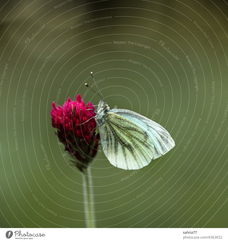 Butterfly sitting in resting position on clover flower Blossom incarnate clover Clover blossom Whiting Colour photo Nature Flower Summer Green Red
