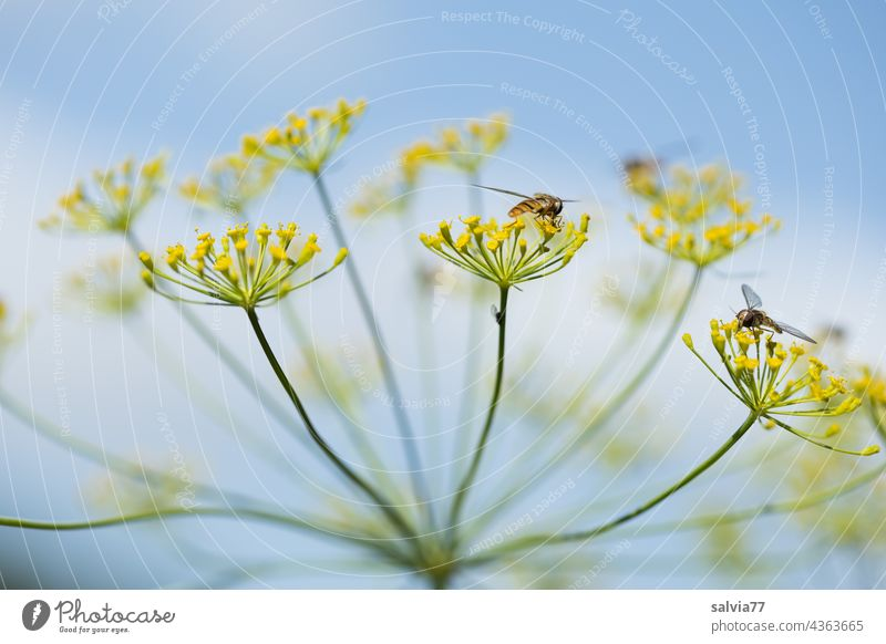 Close up of a dill flower, clouds and sky in the background Dill Dill flower Umbellifer Nature Apiaceae Medicinal plant Agricultural crop