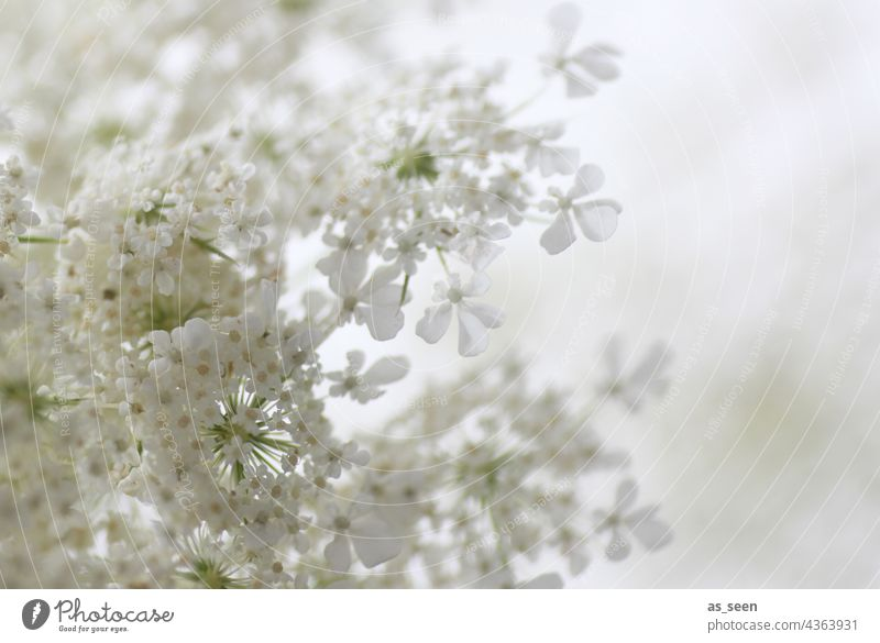 tender blooms Yarrow White High-key Blossom blossoms Summer Blossom Star umbel Apiaceae Plant Flower Nature Deserted Colour photo Blossoming Close-up