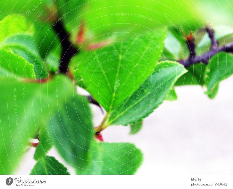 Plum Leaves Leaf Blur Blurred leaves