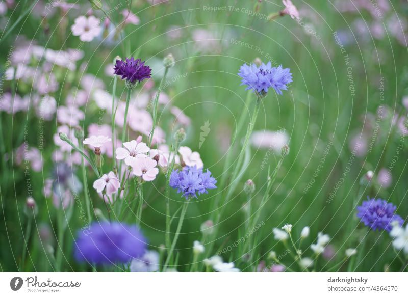 Blue cornflowers and pink coloured meadow herbs in a colourful composition wayside Summer Plant Exterior shot Environment Deserted Blossom naturally blue green