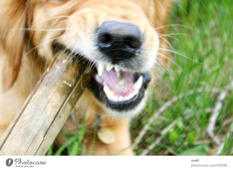 dare... Dog Stick Pelt Green Golden Retriever Mouth Set of teeth Nose Tongue Bite Lawn