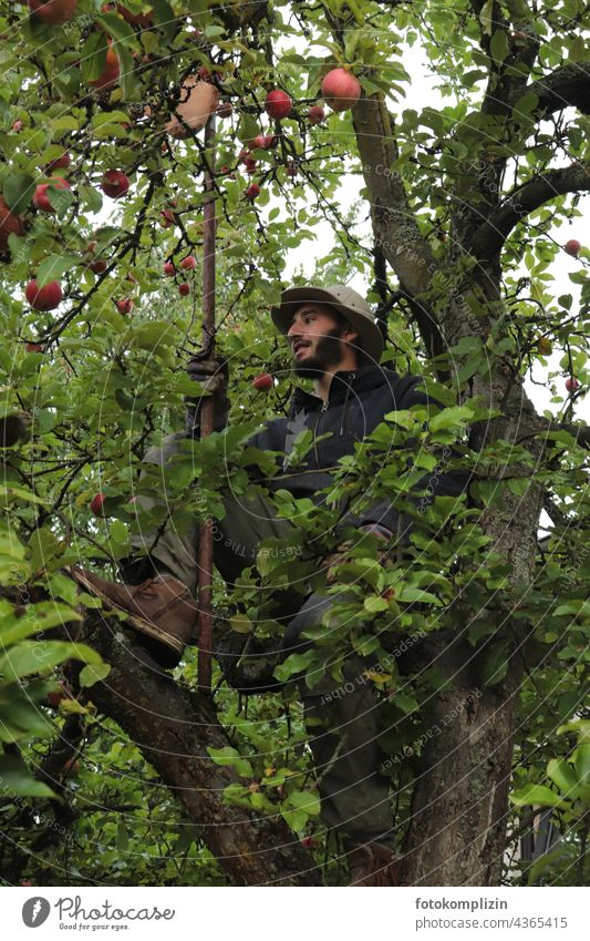 young man sits in apple tree to pick apples Apple tree Pick Harvest Apple harvest Apple season self-sufficiency self-catering harvest season Young man