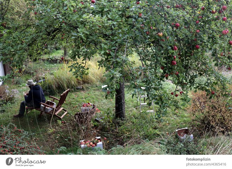 Apple harvest or man with hat sits under a ripe apple tree apples reap Apple tree Hat rack Garden chair Organic produce Harvest Tree Fresh Autumn Food Mature
