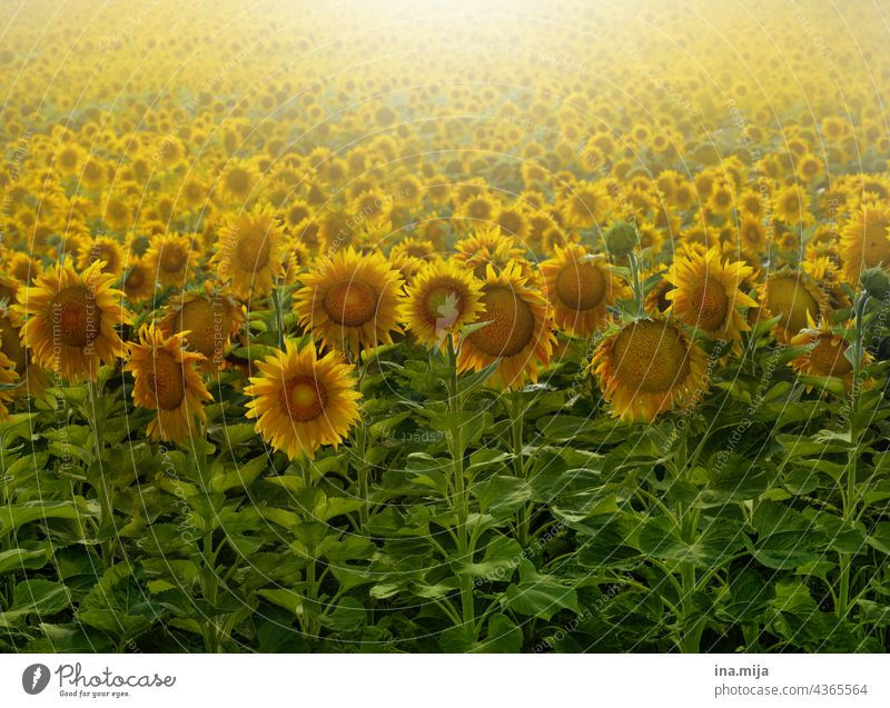 sunflower field Sunflowers Sunflower field Green Yellow Back-light Field Summer Flower Nature Plant Exterior shot Blossoming Agricultural crop Sunflower seed