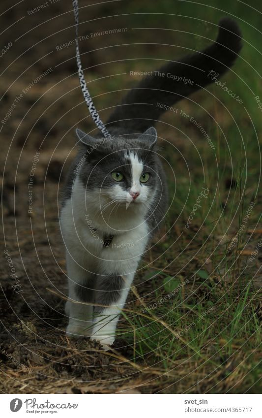 A beautiful smoky cat with a confidently raised tail walks on a harness along a forest path dotted with pine cones and listens to forest rustles. Portrait of a gray-white cat with green eyes walking on a leash in a summer forest.