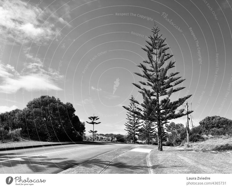 Evergreen trees and the street, black and white Evergreen plants evergreen trees evergreens Street outside the city Deserted Plant Tree Western Australia Nature