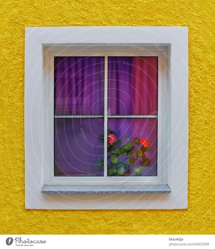 yellow facade and windows with purple curtains and pink roses Yellow colors variegated Violet Window pane View from a window Window frame Window seat Glass
