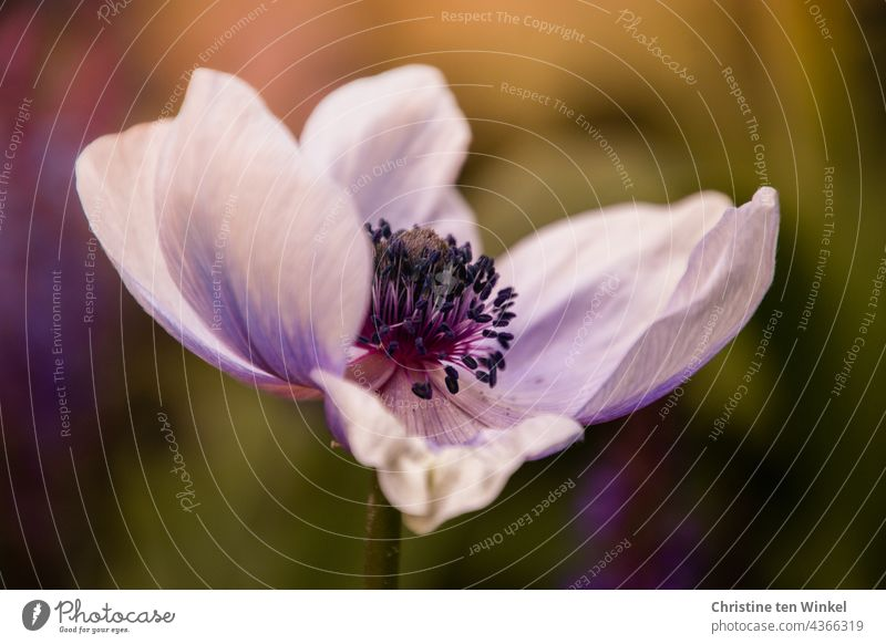 Close-up of a single flower of anemone, garden anemone, crown anemone, Anemone coronaria Poppy anenome Violet Blossom Flower Crowfoot plants Blossoming 1 Garden