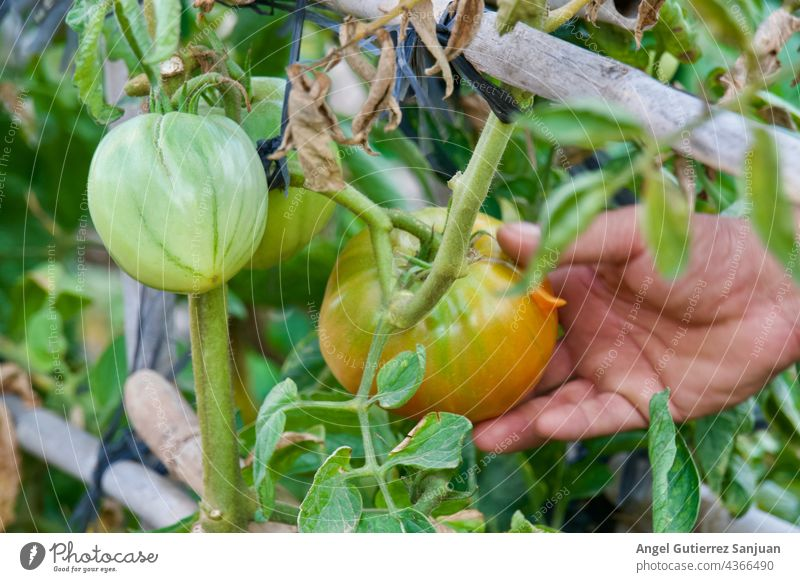 Close-up of a farmer's hand holding tomatoes before harvest, organic farming and agriculture concept. Agriculture Green Nature Plant Tomato Exterior shot