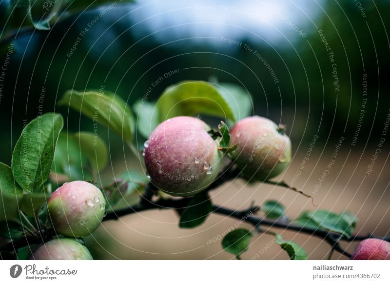 apples Apple Apple tree Tree Twig Twigs and branches leaves Nature Drops of water Delicious Detail Close-up Exterior shot Colour photo Wet Fresh Healthy Eating