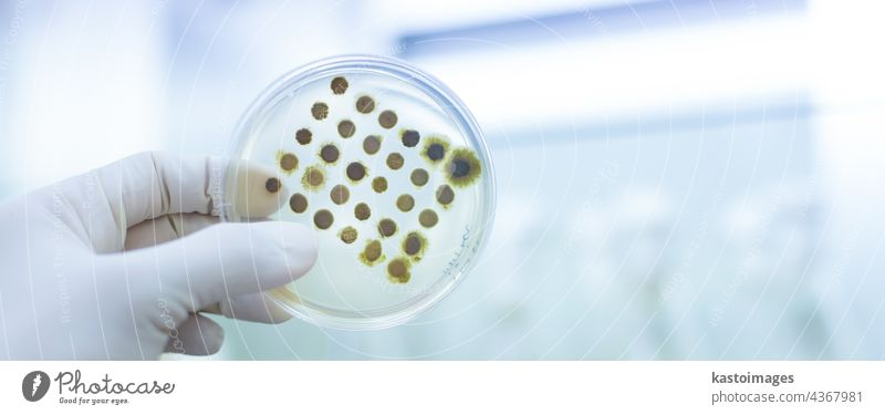 Scientist growing bacteria in petri dishes on agar gel as a part of scientific experiment. analysis analyze bacteriology bacterium biochemistry biological