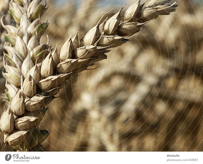 Nature Summer Field Grain Blade of grass