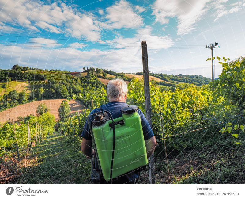 Senior farmer spraying copper green fungicide to organic grape vines plants during summer before next harvest in the italian hills of Piacenza agriculture italy