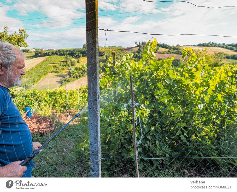 senior farmer looking grape vines in summer in the hill agriculture italy outdoors nature food rural fruit harvest people autumn italian industry man vineyard