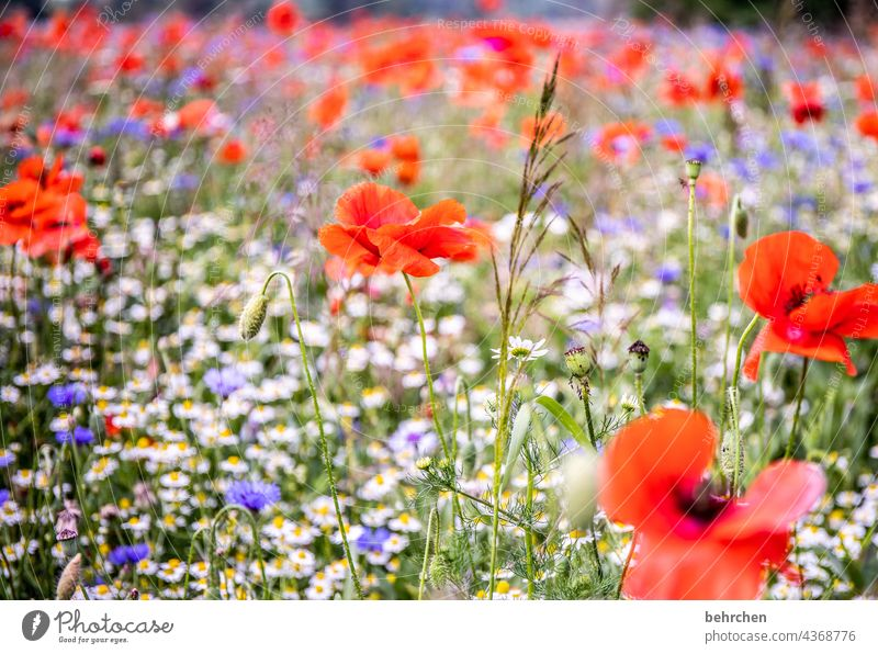 mo(h)ntag only with poppy. because it blooms and shines. like the first day. Chamomile Beautiful weather Deserted Blossoming Splendid Poppy Poppy blossom