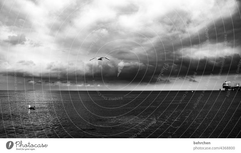 two seagulls, one flying, one swimming Dramatic Usedom Black & white photo birds Freedom wide Wanderlust Longing Idyll Water Waves Nature Clouds Sky Baltic Sea