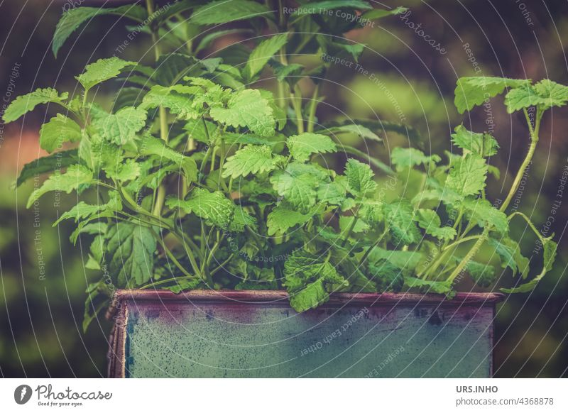 in the pot grows the fresh mint for the tea Mint Tea herbs Plant Herbs and spices Healthy Drinking Green Pot do gardening Pot plant Tin salubriously Spicy