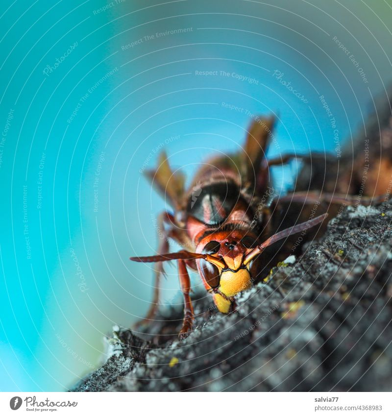 Wood Processing hornet wasp Insect Macro (Extreme close-up) Nature Animal Shallow depth of field 1 Animal portrait Close-up Deserted Feeler Compound eye