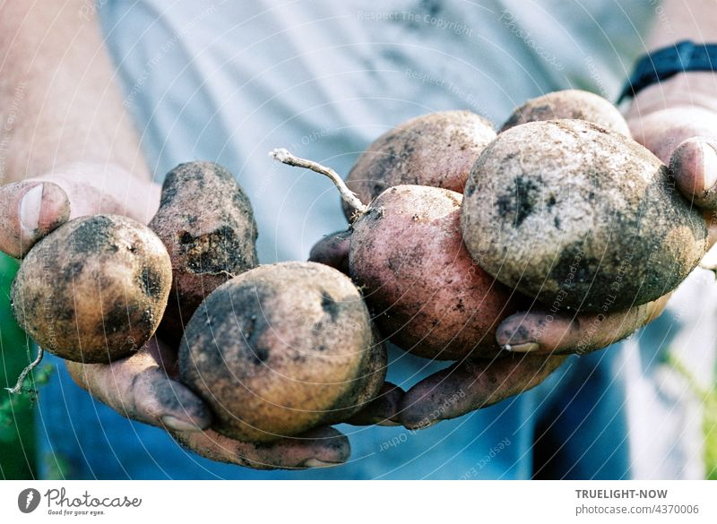 Potatoes very fresh. Organic from Mother Earth. Happy the farmer. organic Biological Agriculture Demeter Harvest Fresh food Nature naturally salubriously