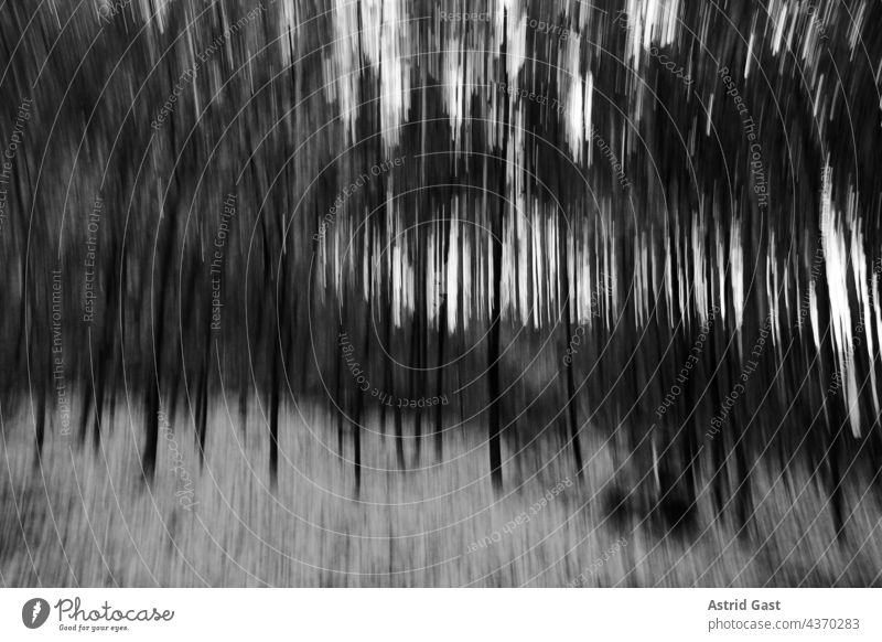 A blurry forest in black and white Forest trees blurred hazy Autumn Winter deciduous trees birches black-white Evening evening light Cold chill Frost foliage