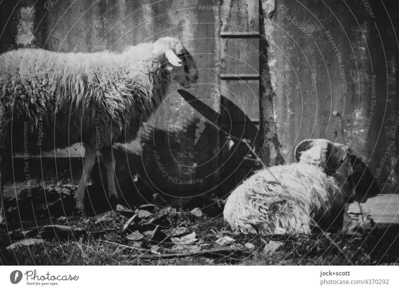 Lost Land Love | two harmless sheep in sheep's clothing Sheep Farm animal metal wall Rest Livestock breeding Black & white photo lost places